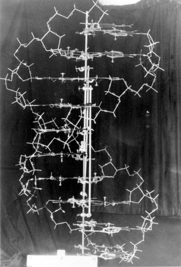 The original DNA demonstration model, designed by James Watson and Francis Crick.
