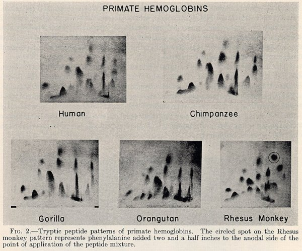 Animal Hemoglobins - Figure 2