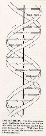 Diagram of the double-helix structure of DNA.