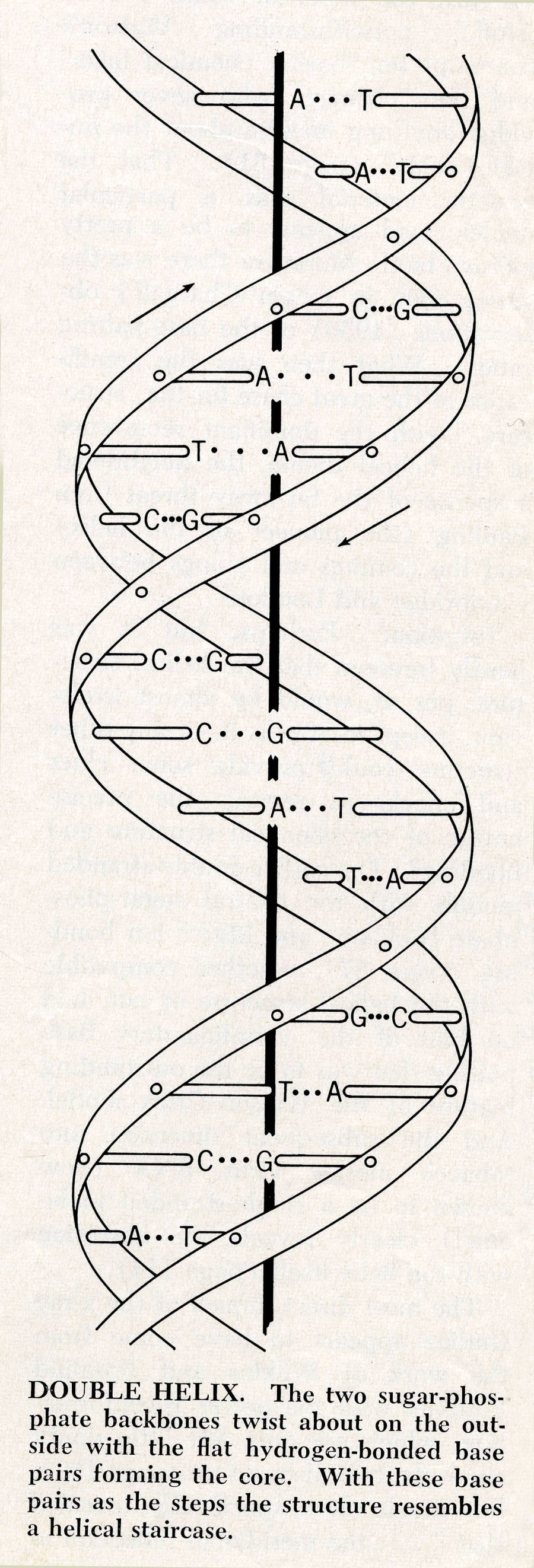 diagram of the double-helix structure of dna. august 1968. (large version) - pictures and ... dna replication diagram labeled dna structure diagram drawing