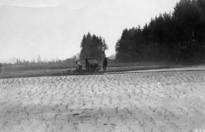 Spreading sawdust in a field, 1927.