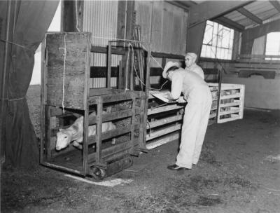 Lamb weighing, 1961. Dr. Fox, Dairy and Animal Husbandry, weighs lamb being used in estrogen studies.