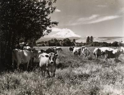 A dairy herd in the clover near Dufur, Oregon. Mt. Hood is shown in the distance, 1920s.