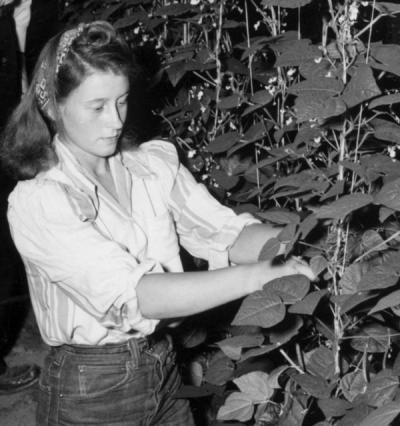 Margaret Moss picking beans, 1946.