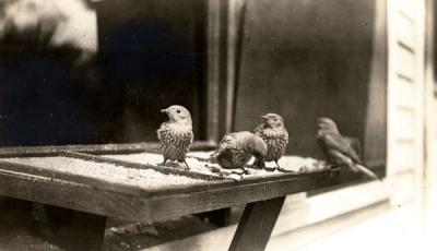 Western Bluebird and young at a feeding station, ca. 1940.