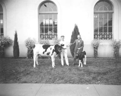 Dairy cow and calf shown at the Oregon State Fair, 1936.