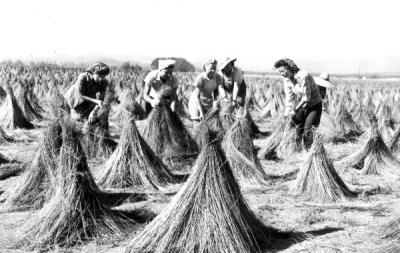 A crew of neighborhood women wigwaming fibre flax at the Benton County flax Growers Cooperative near Monroe, Oregon, 1944.