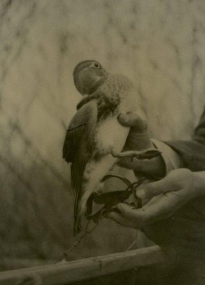 Photo of a waterfowl included in Jay Gashwiler's thesis, 1939.
