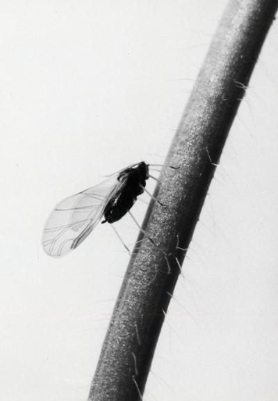 Images of a winged insect, ca. 1972.
