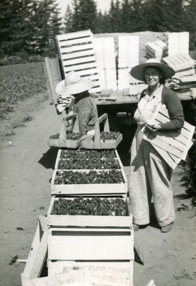 Two members of the Oregon State Horticultural Society harvesting broccoli [?], ca 1960s.