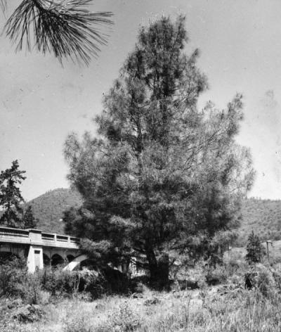 Digger pine tree, May 1951. This tree was found on the east side of the old U.S. highway 99 bridge over the Rogue River, some 2.4 miles west of Gold Hill, Oregon.