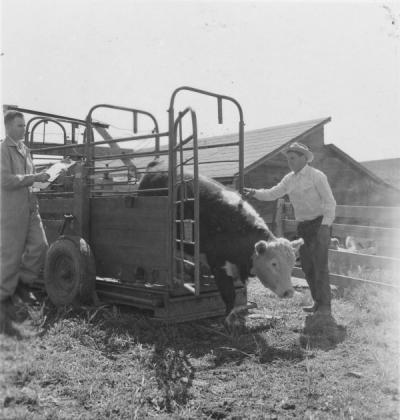 Cattle weighing at the Frank McClintock farm west of Condon, Oregon, June 1957. Dave England stands on the left recording weight and County Extension Agent Ernie Kirsch is at right handling the chute.