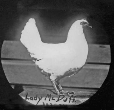 "Lady McDuff. In 1913, the OAC poultry department's laying hen named ""Lady McDuff"" set a world record by becoming the first chicken to lay over 300 eggs in a year."