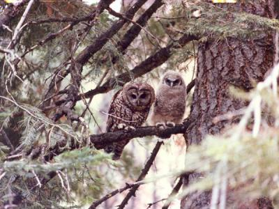 Two Northern Spotted Owls.