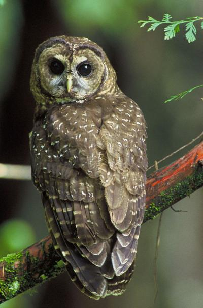 The Northern Spotted Owl.