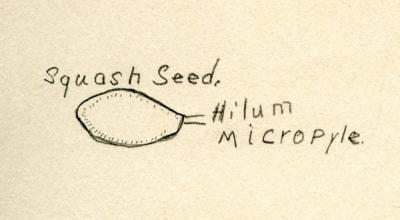 Illustration of a squash seed found in Victor's class notes, ca 1920.