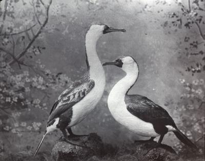 Black Crested Cormorants, 1915.