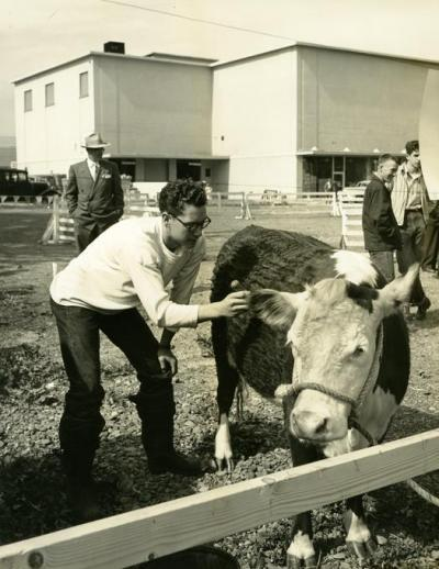 Raymond Weygant currying Hereford at FFA show, 1951
