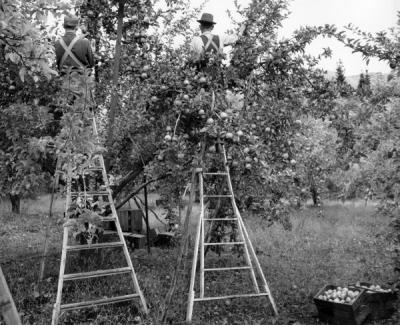 Apple pickers in Hood River, Oregon. 1950s.