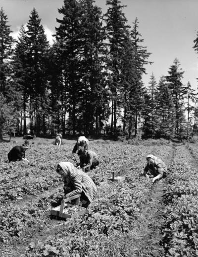 Strawberry pickers, Elgin Lucas patch, Hubbard, Oregon, May 30, 1951.