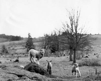 Lambs in pasture, 1950s.