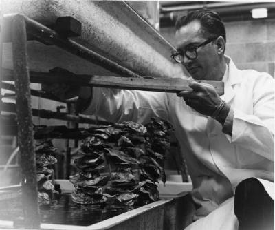 Sea Grant researcher Wilbur Breese checking the growth rate of cultured oyster spat. Breese set up a pilot oyster hatchery at Oregon State University's Marine Science Center in 1965. His investigations succeeded in unlocking the mysteries of oyster reproduction and paved the way for the establishment of commercial oyster seed hatcheries.