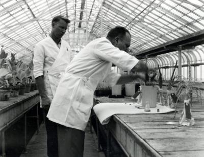 J. Ritchie Cowan and Dr. Joseph S. Butts, 1950s. Using radioactive materials in fundamental research with corn pollination are J. Ritchie Cowan, assistant agronomist (left) and Dr. Joseph S. Butts, biochemist in charge. Butts was Professor of Agricultural Chemistry from 1939-1961 and Department Head from 1946-1961. A focus of his interest was utilizing atomic energy for peaceful means.