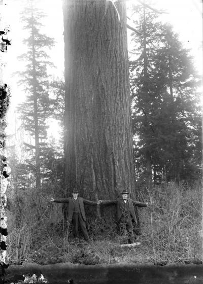 Unidentified men standing at the base of a large tree, ca. 1910.