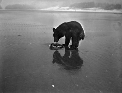 A bear with a crab at Cannon Beach, Oregon, ca 1930s.