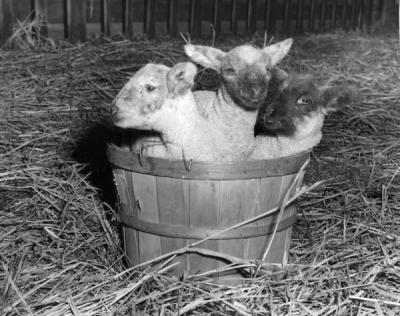 """A Basket full of Wool."" Dickman lambs in a basket, ca 1950s."