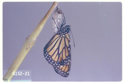 Danaus plexippus (Monarch butterfly)