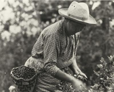 Native American woman picking huckleberries, 1933