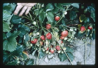 Hood strawberry plant, North Willamette Experiment Station, 1966
