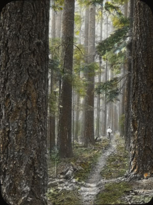 Hand-colored lantern slide of an Oregon forest scene, ca. early 1900s.