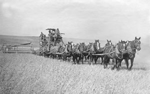 Harvesting wheat with a horse-drawn combine, 1900.