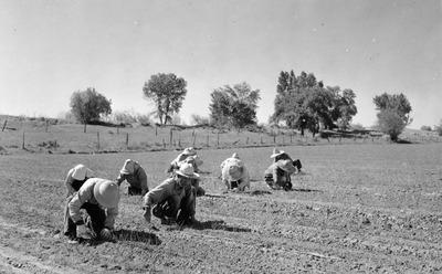 p120_2721_japaneseamerican_workers_planting_onions_28613aae8a.tif
