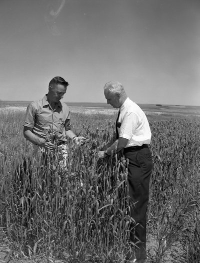 Black and white photograph of James Herbert Jensen examining stripe-rust-resistant Omar wheat.