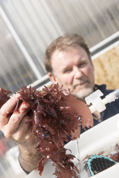 Charles Langdon holding a handful of dulse