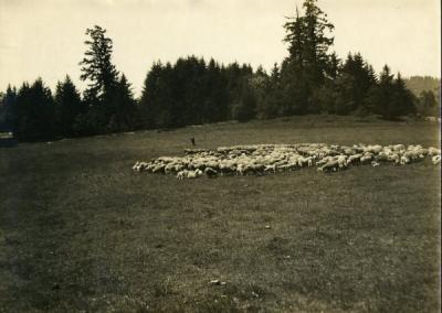 Sheep in a pasture in Oregon, 1910.