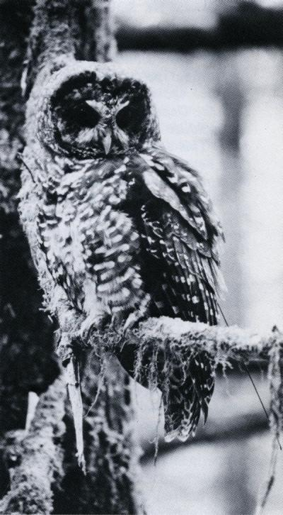 "Spotted owl image included in the article ""Spotted Owls and Old-Growth Forests,"" , Summer 1986."