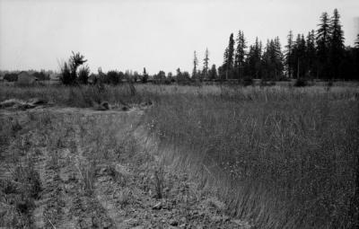 Flax field at the Lester Burley farm, Canby, Oregon. ca 1940s.