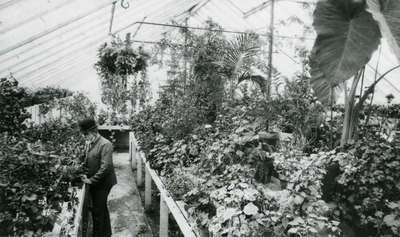 George Coote in an OAC Greenhouse, ca. 1895