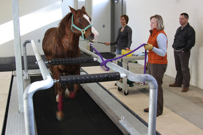 OSU veterinary medicine faculty working with a horse on a high-speed treadmill